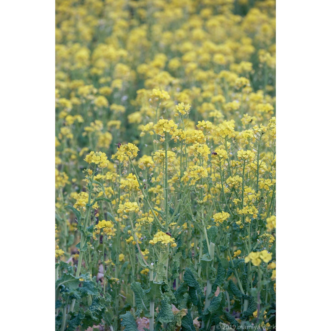 菜の花密集縦