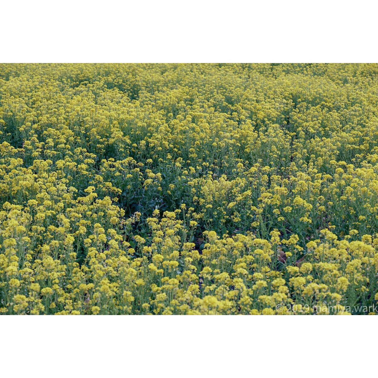 菜の花横密集