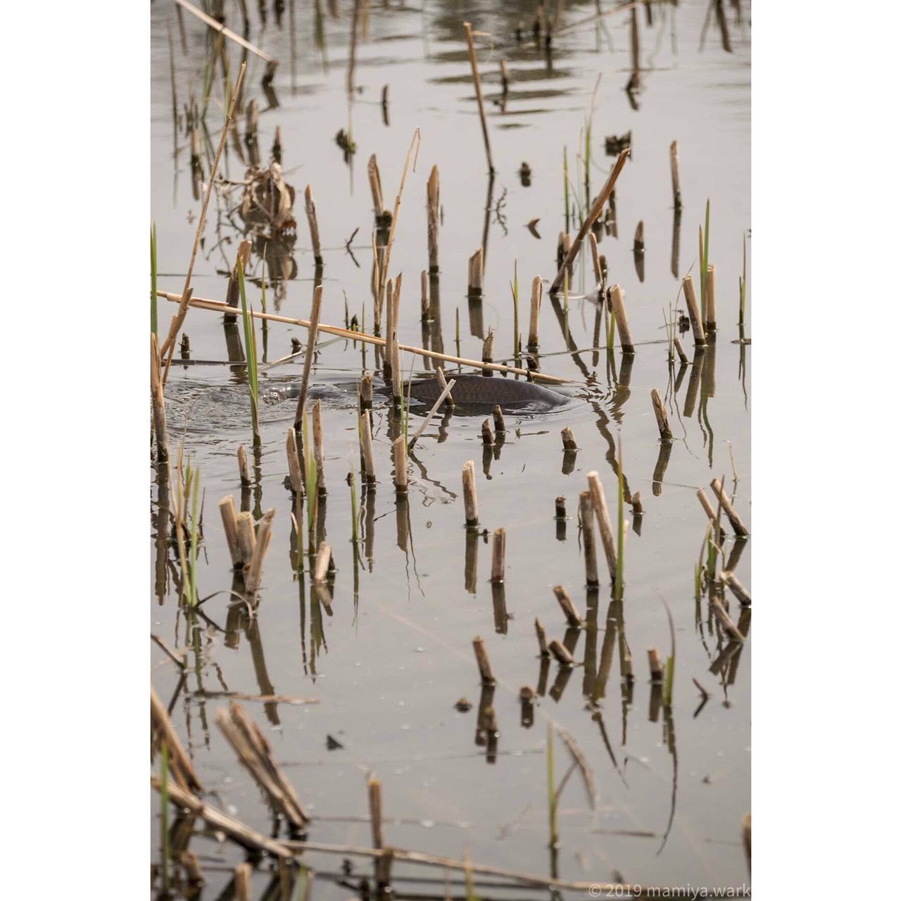池の鯉の背びれ
