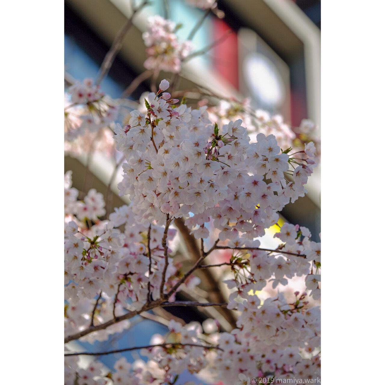 桜背景ビル