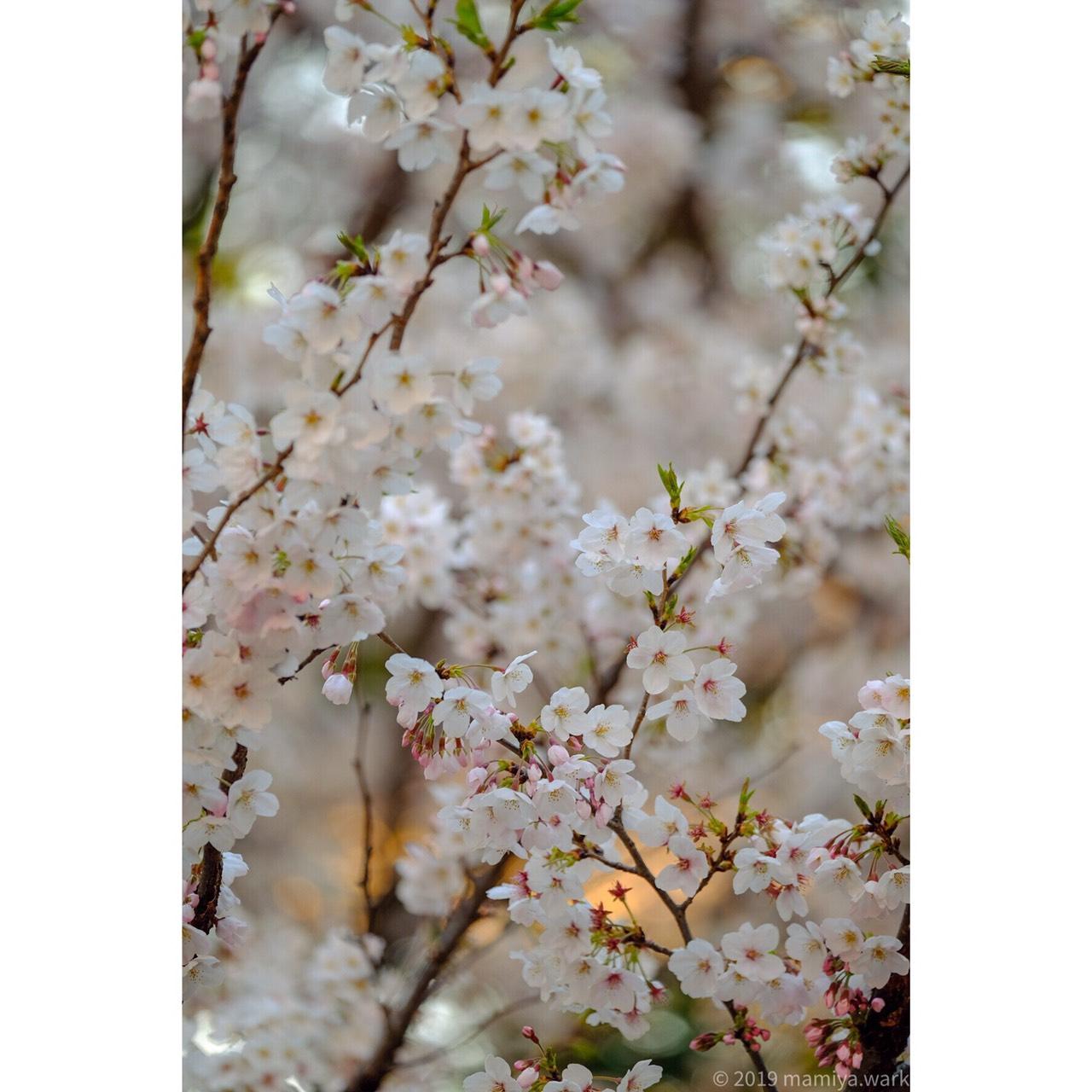 上野公園桜4