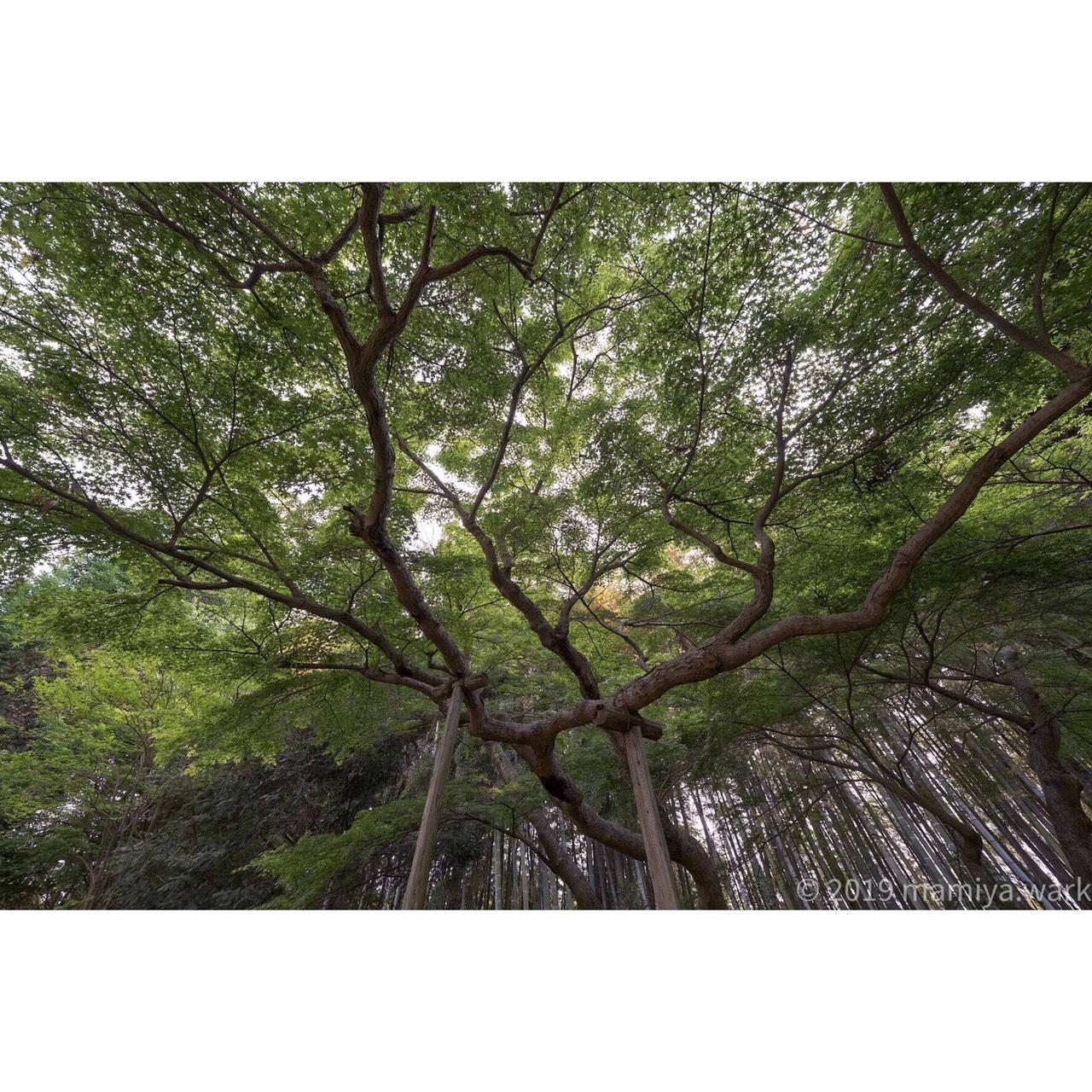 モミジと竹林2