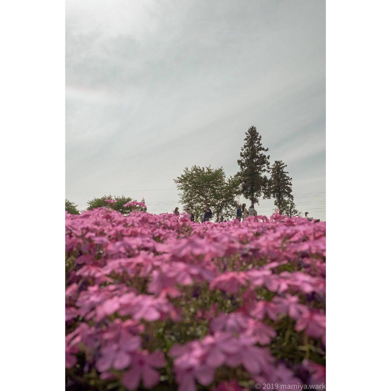 芝桜あおり