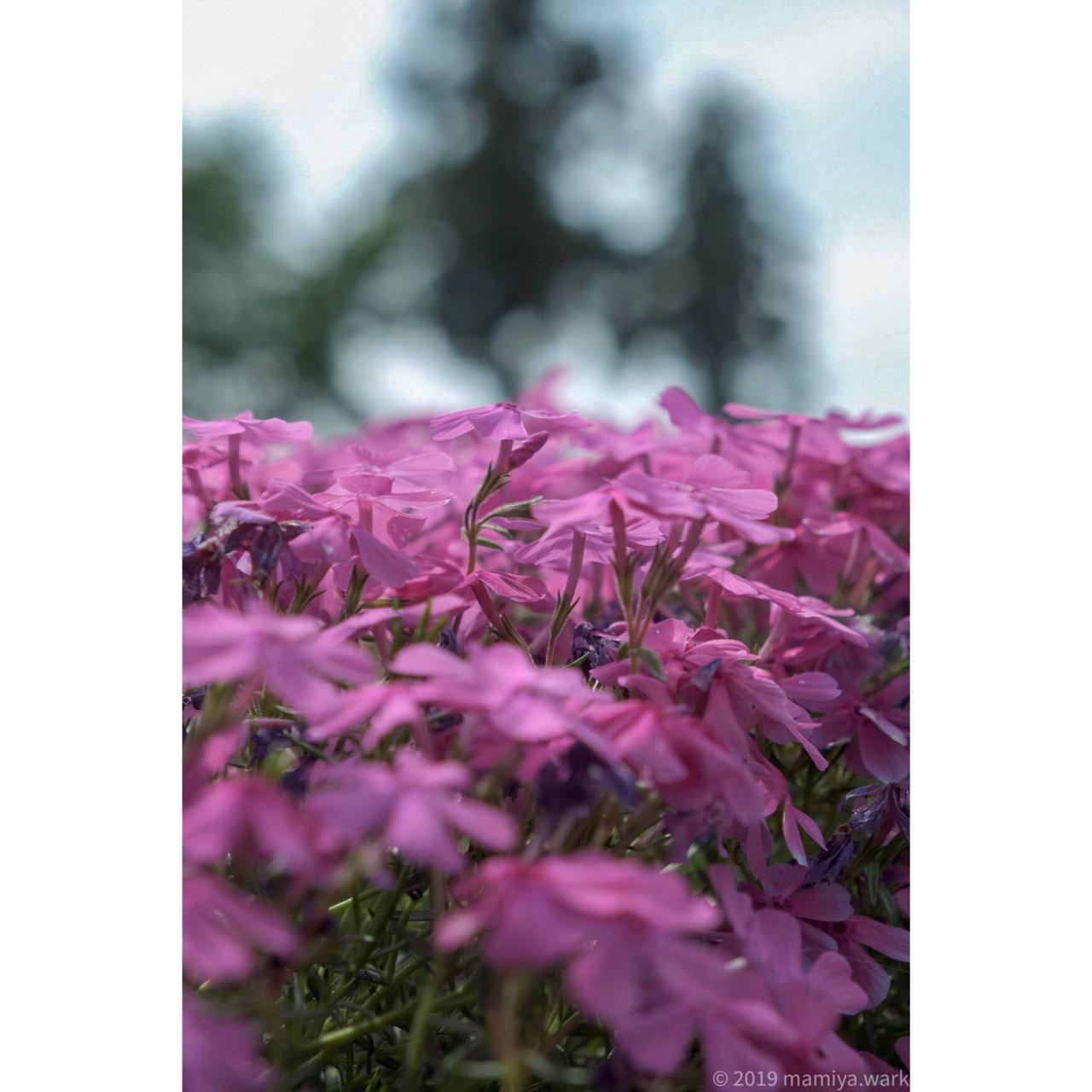 芝桜アップ2