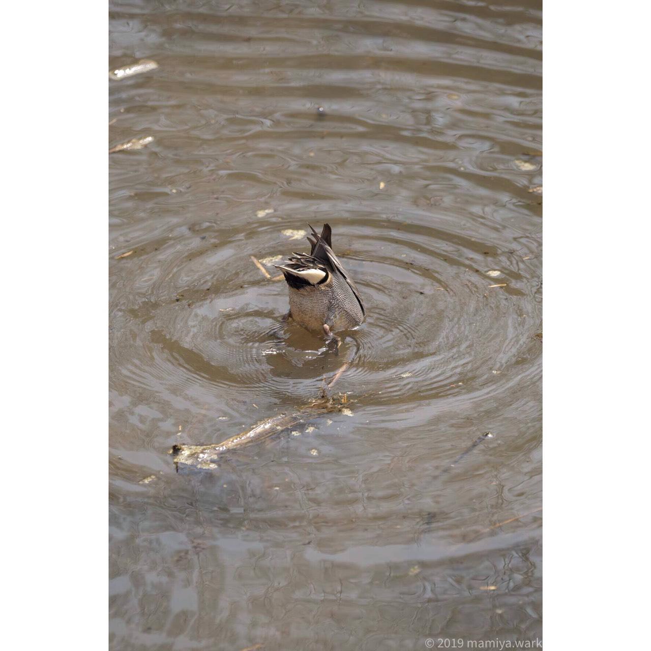 自然公園鴨2
