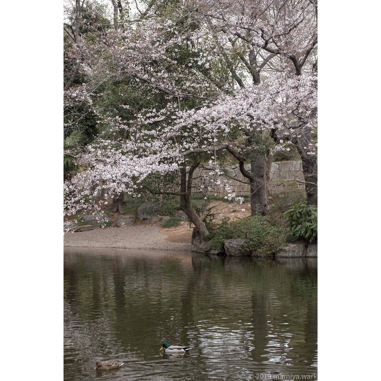丸山公園11