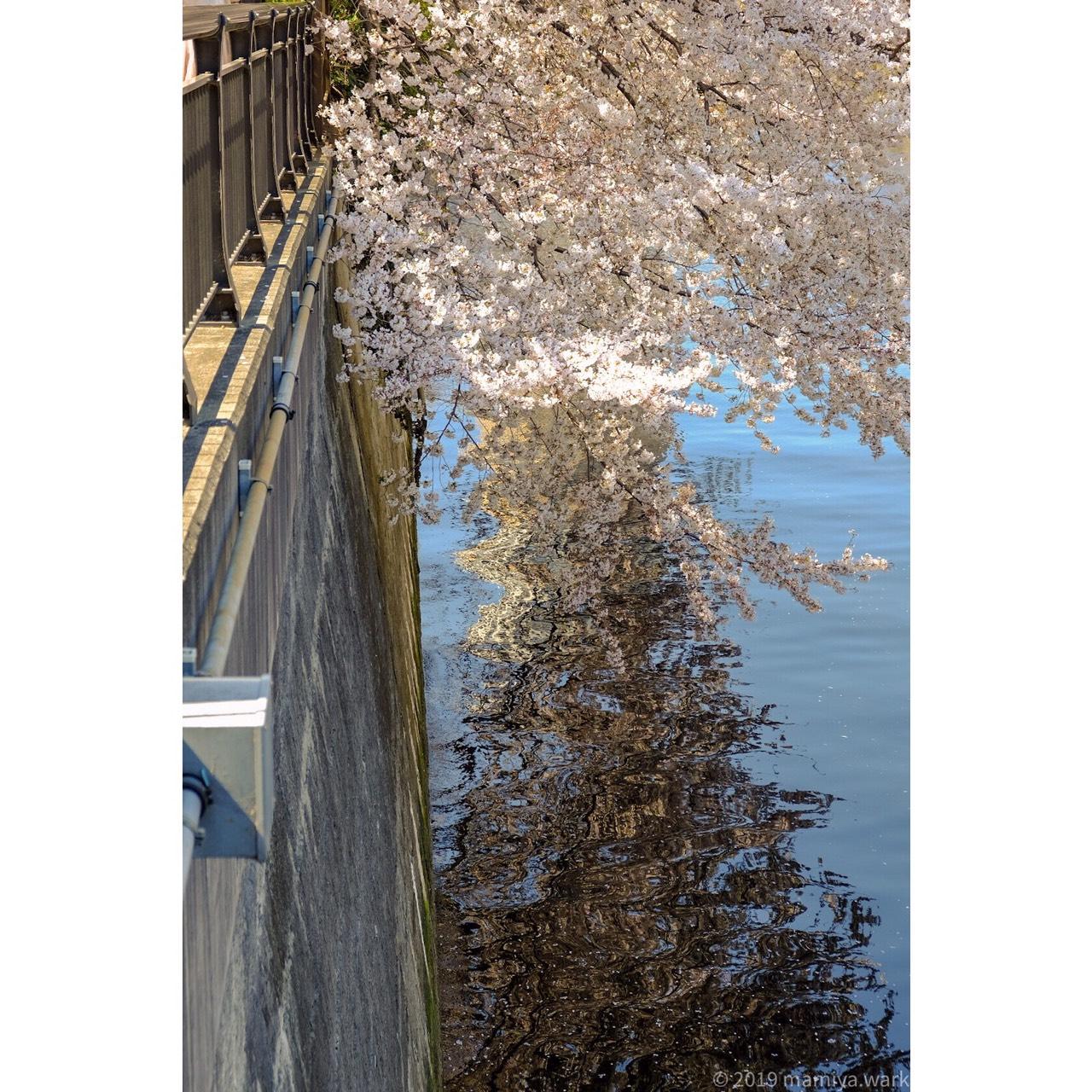 目黒川桜3