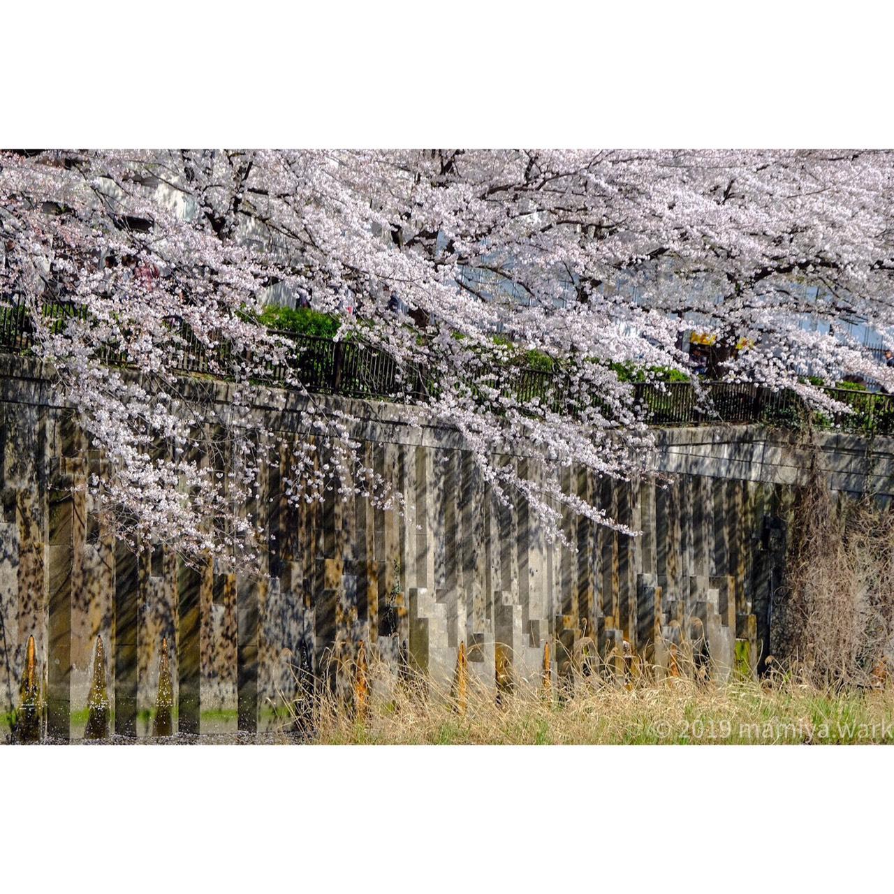 目黒川桜5