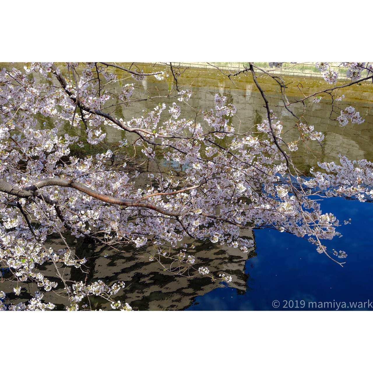 目黒川桜8