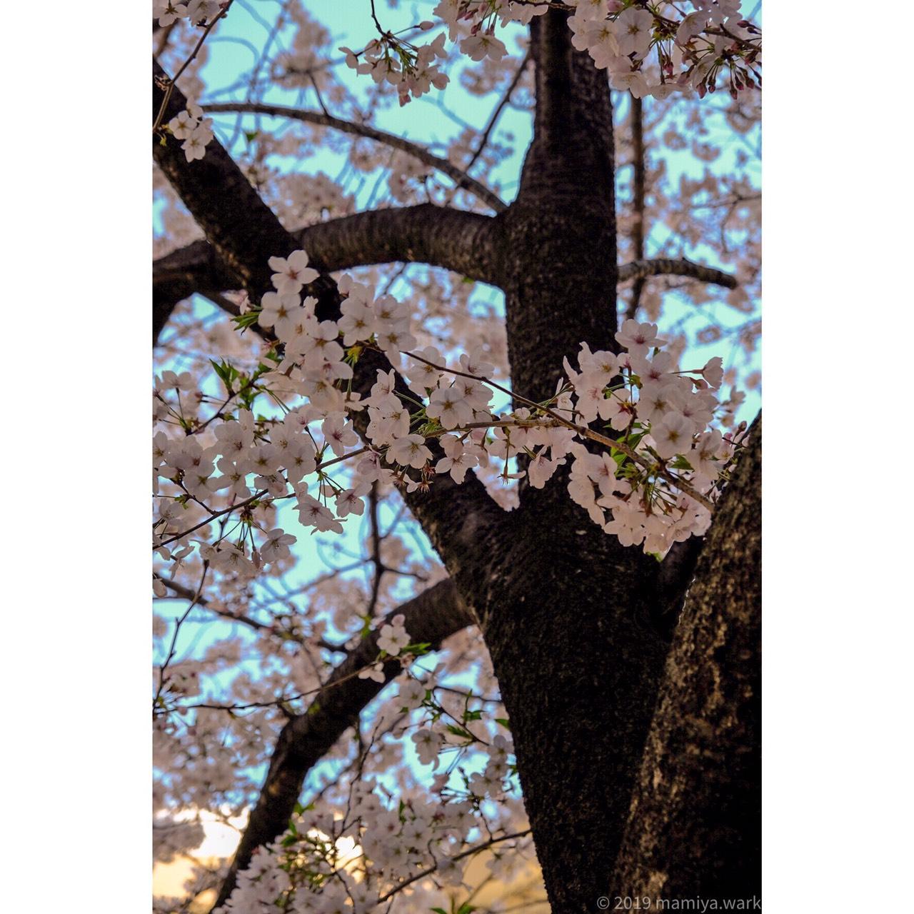 目黒川桜9