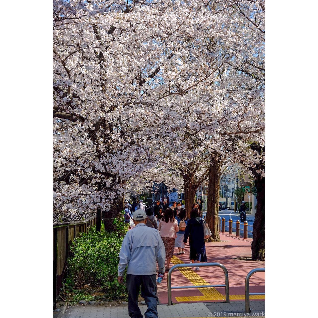 目黒川桜10
