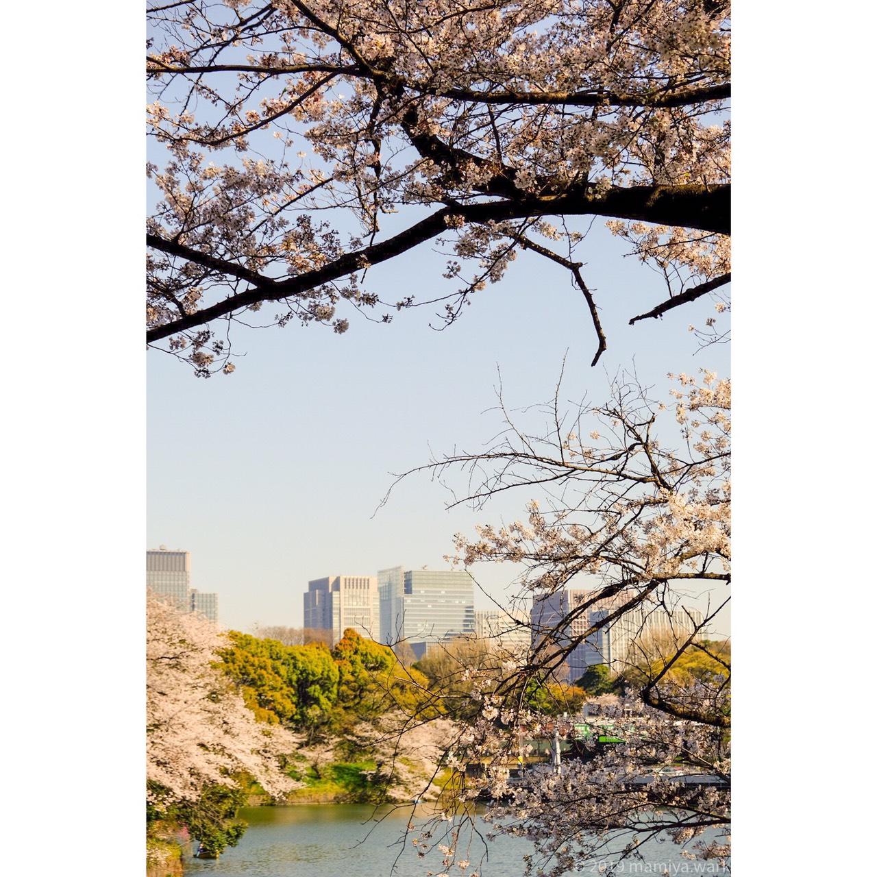 千鳥ヶ淵桜2