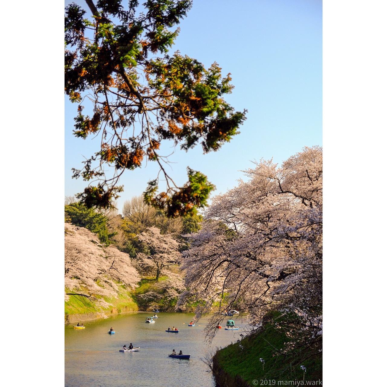 千鳥ヶ淵桜5