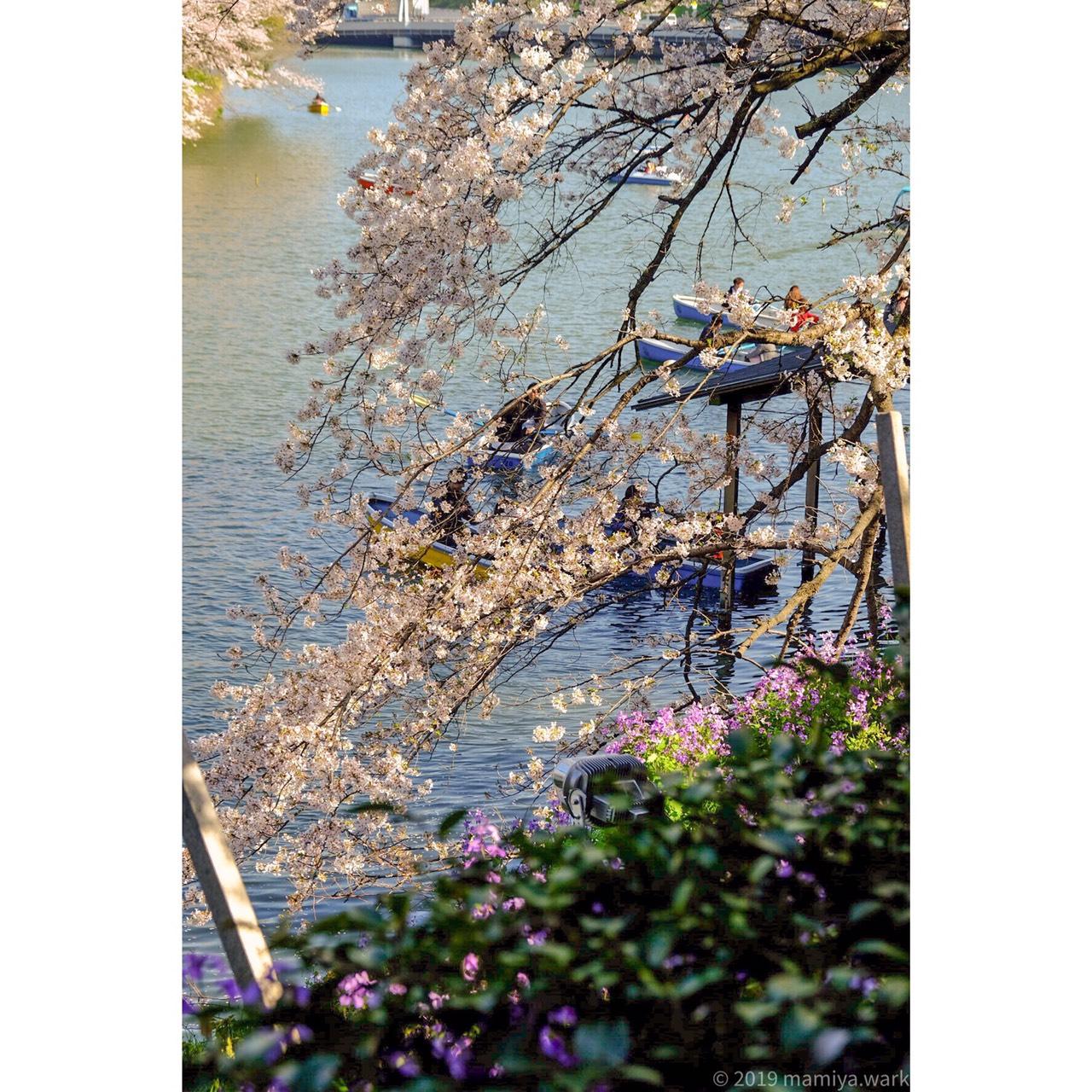 千鳥ヶ淵桜7
