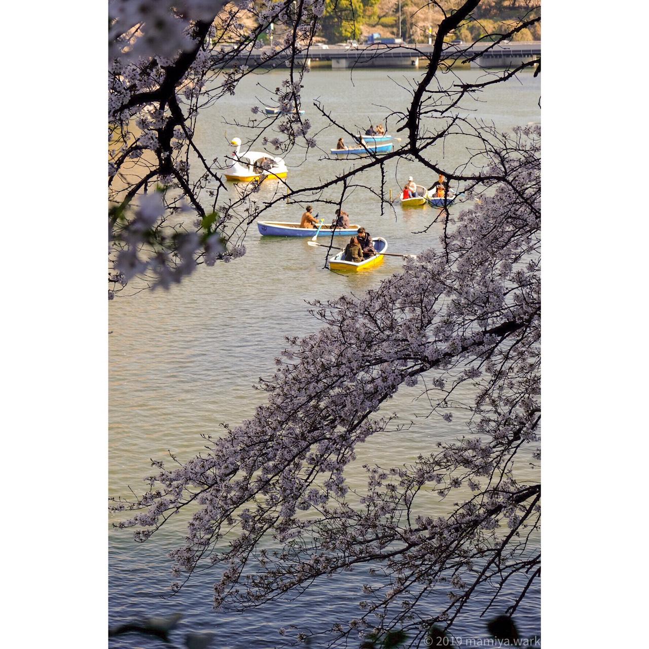千鳥ヶ淵桜6