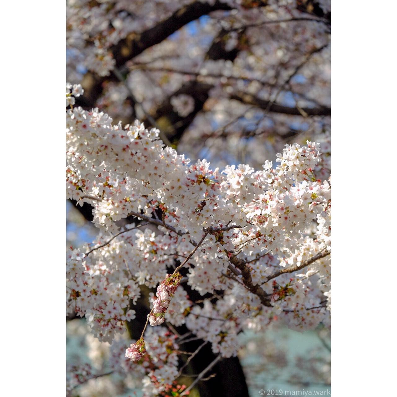 靖国神社桜2