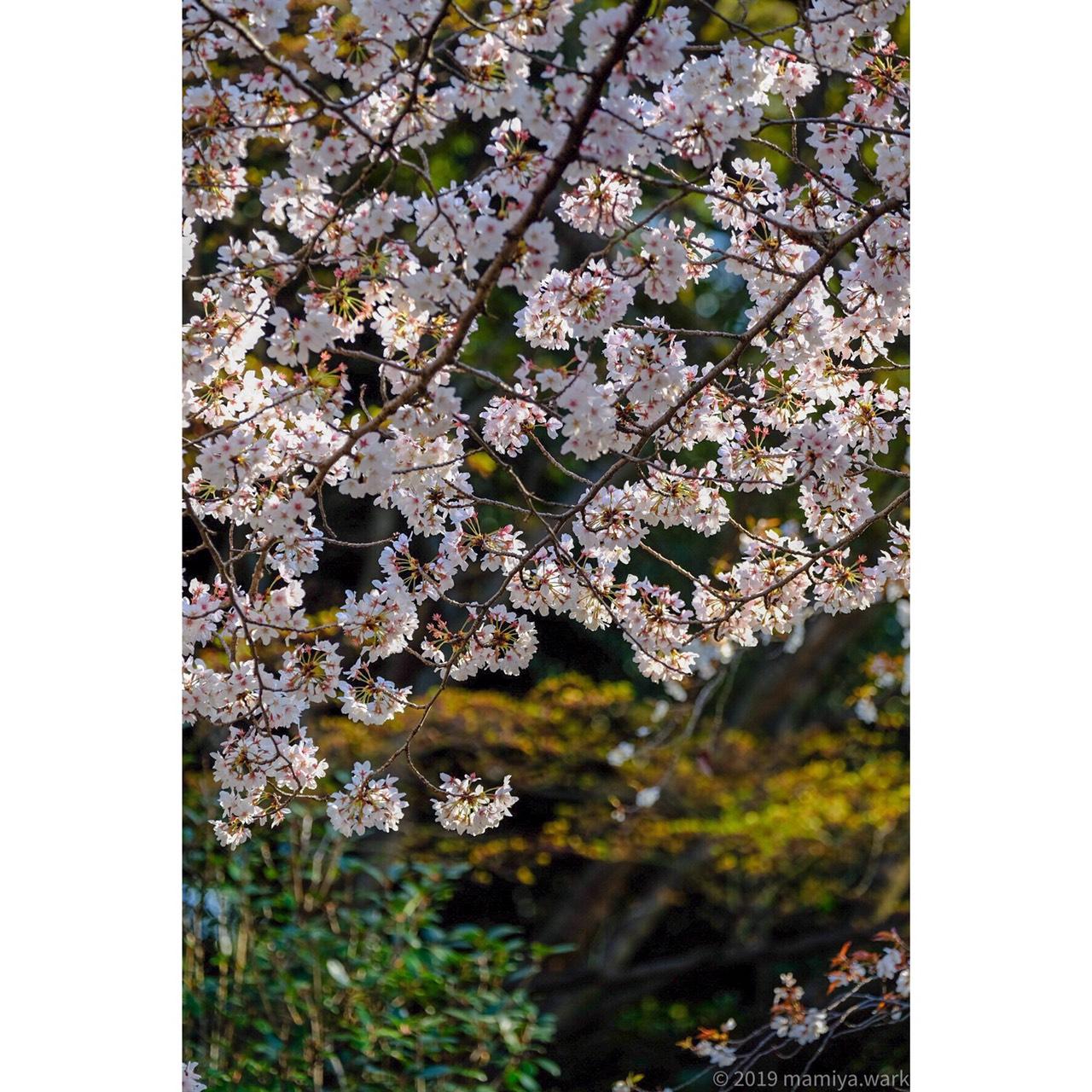 靖国神社桜4
