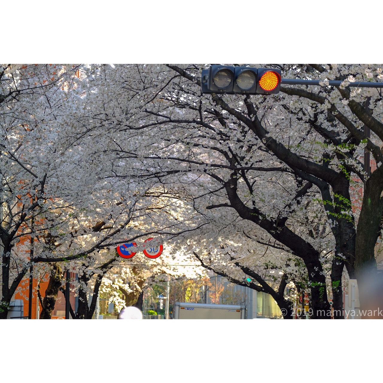 靖国神社外の桜2