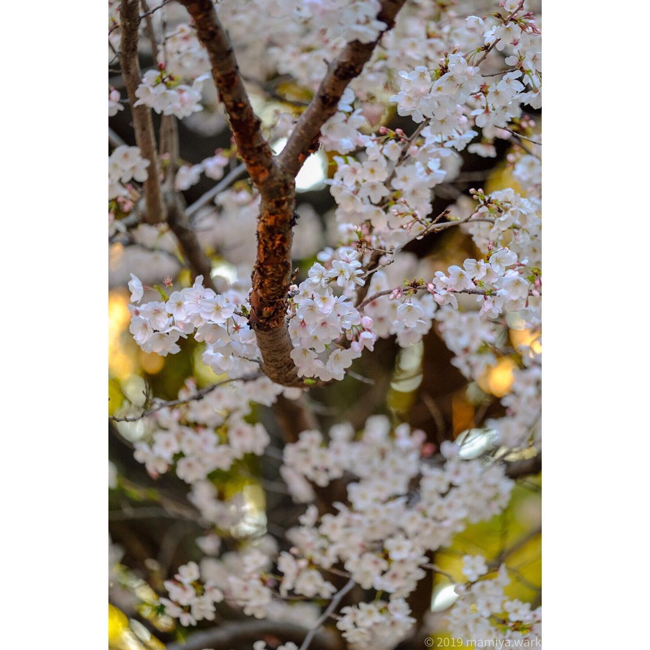 上野公園桜5