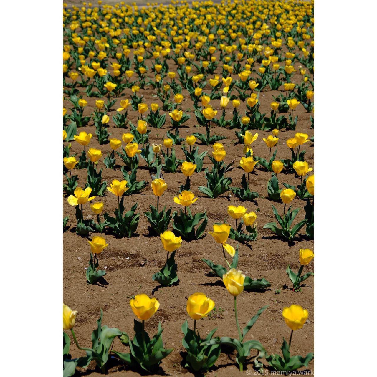黄色チューリップ花壇