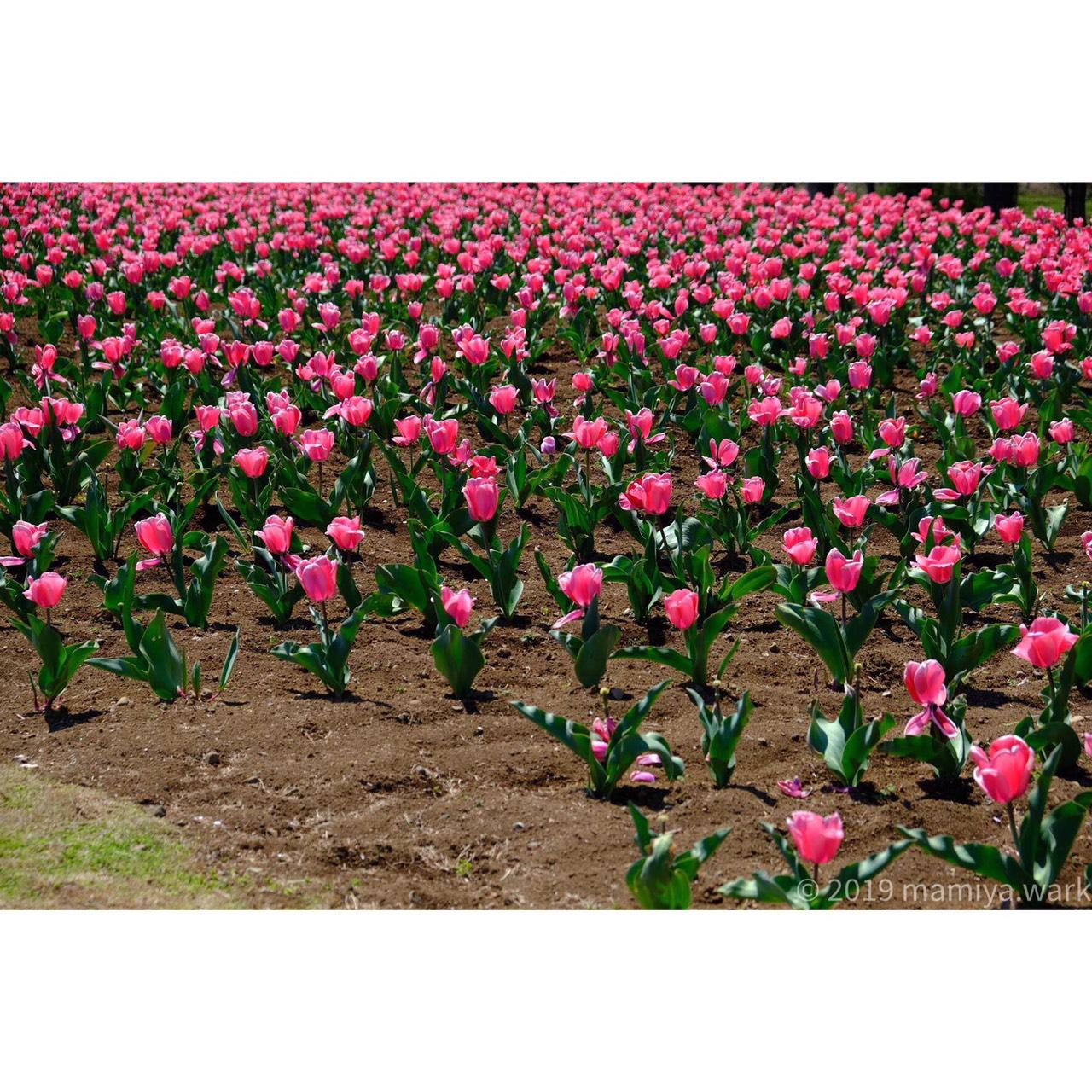 ピンクチューリップ花壇