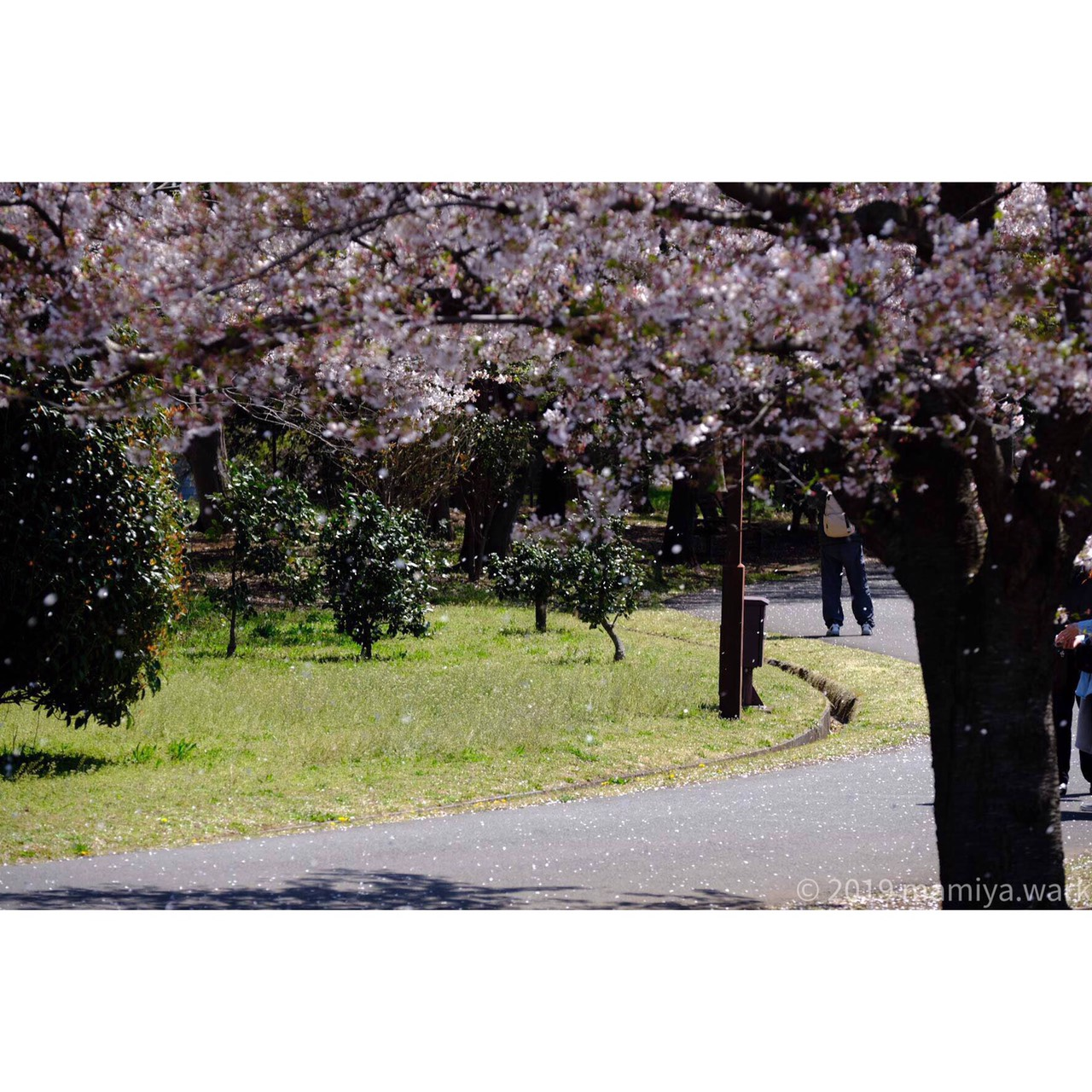 散りゆく桜