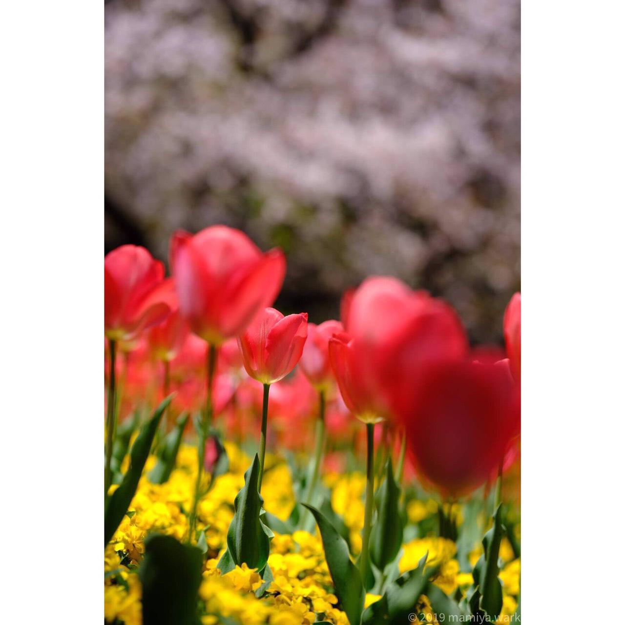 桜とチューリップ桜ボケ