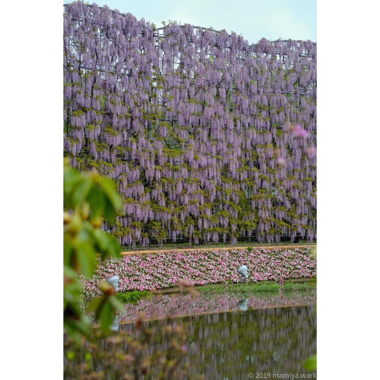 紫藤のスクリーン