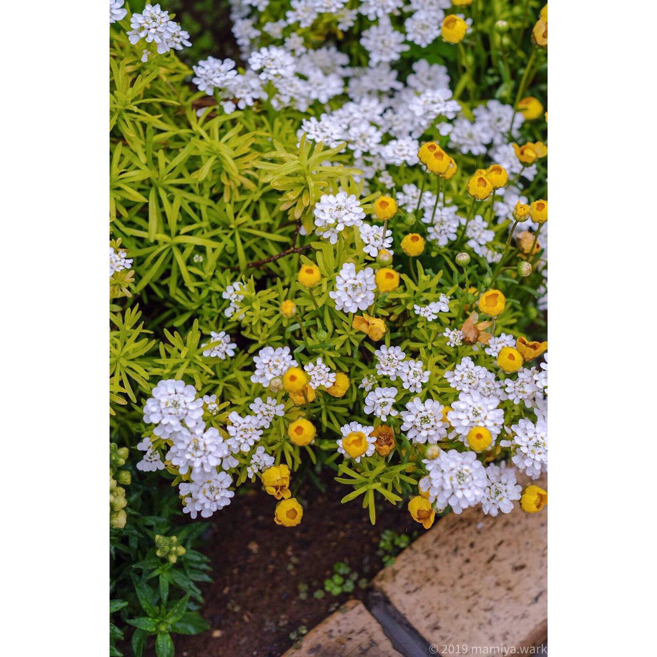 白と黄色の花イングリッシュガーデン