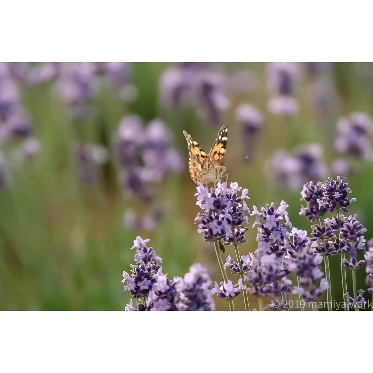 ラベンダーと蝶3