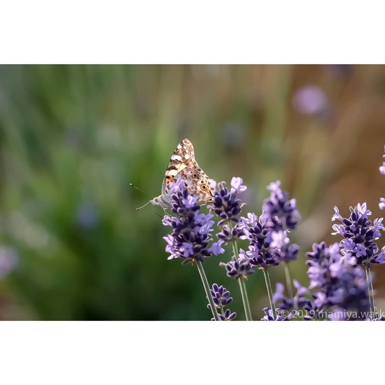 ラベンダーと蝶1